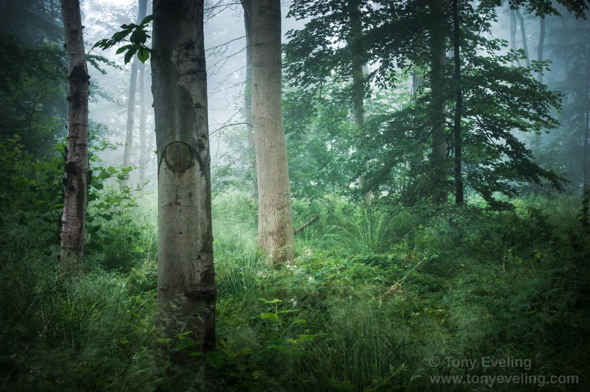 Misty forest in the morning. Gloucestershire, UK