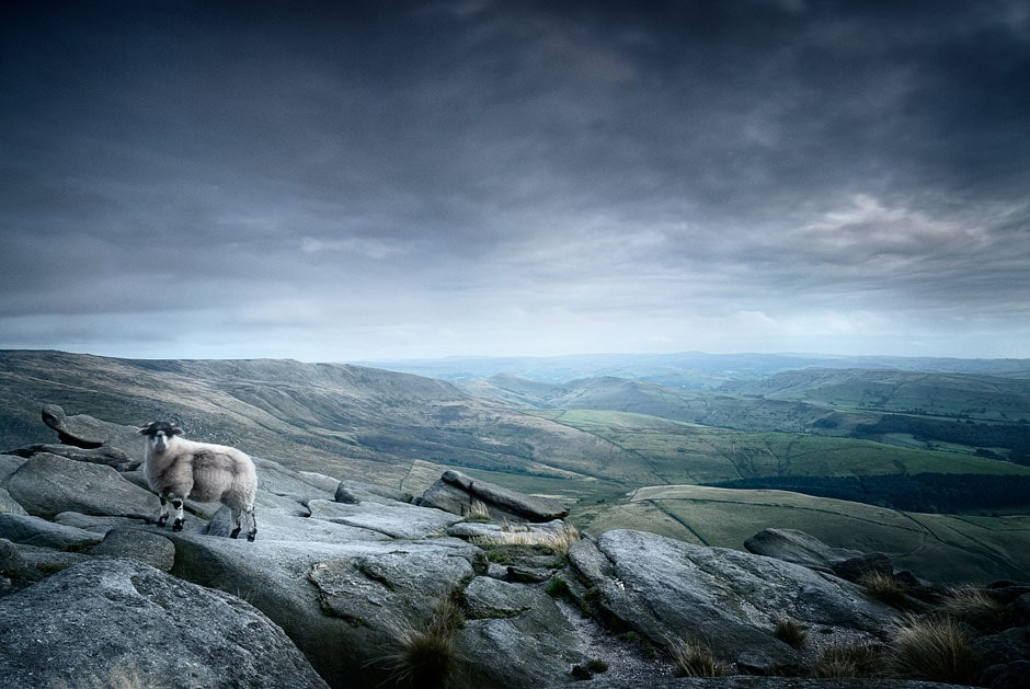 Sheep atop Kinder Scout, Peak District National PArk, Derbyshire, England, UK