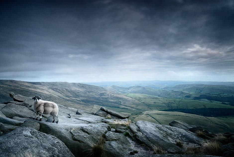 Sheep atop Kinder Scout, Peak District National PArk, Derbyshire, England, UK
