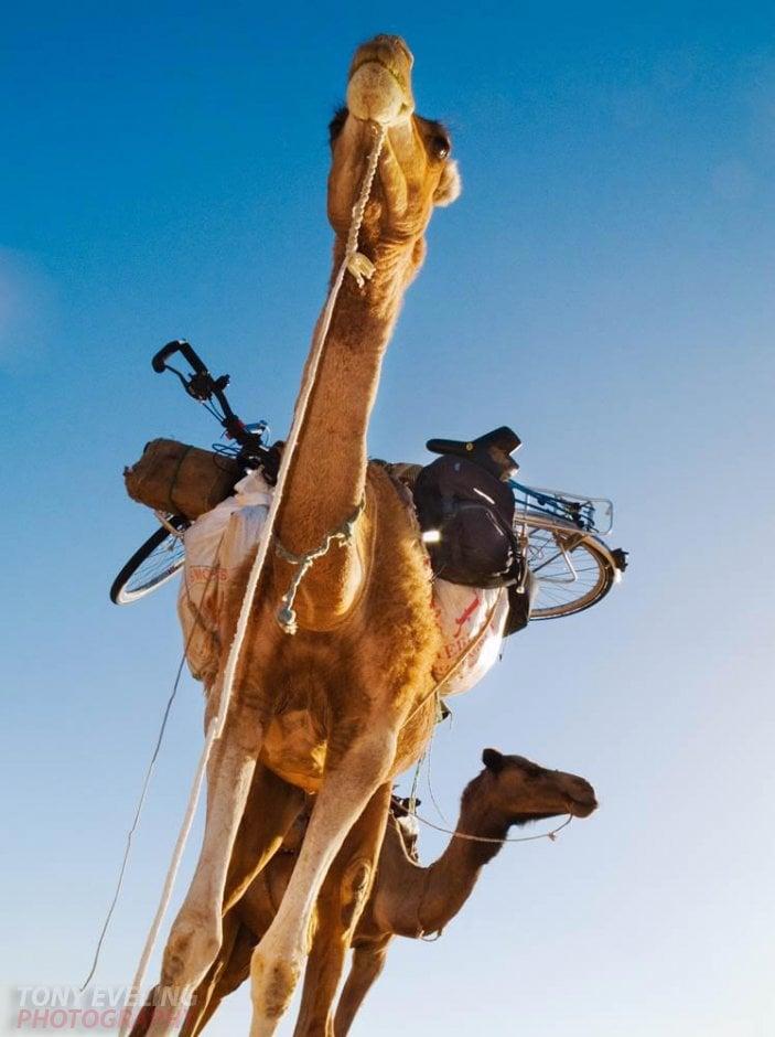 Cameleer leading a camel in the Sahara Desert, Mauritania, Africa