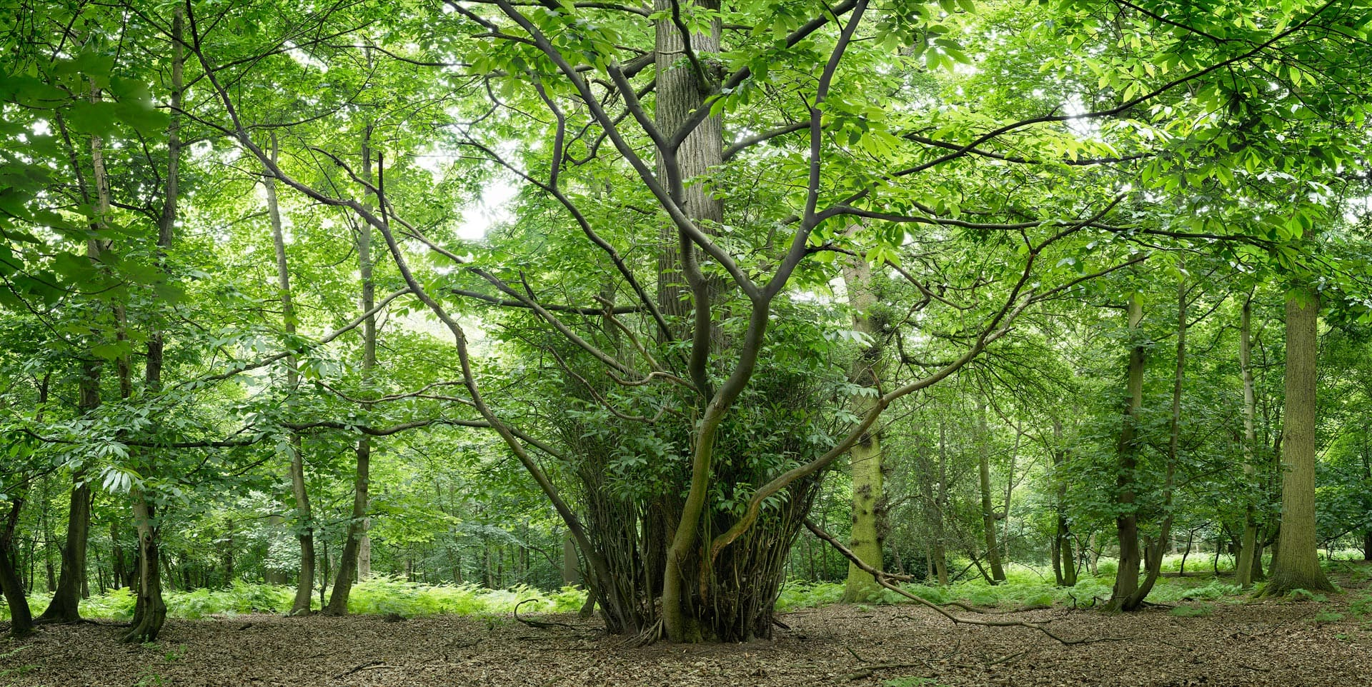 Forest in summer. Epping Forest, Essex, England, UK