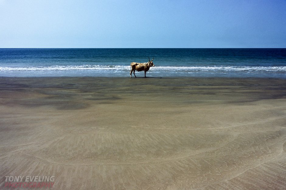 Cow on the beach, Gambia, West Africa
